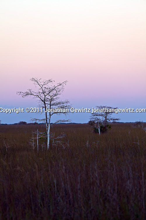 Bald Cypress trees in the sawgrass prairie near Pa-hay-okee Overlook in Everglades National Park, Florida. WATERMARKS WILL NOT APPEAR ON PRINTS OR LICENSED IMAGES.