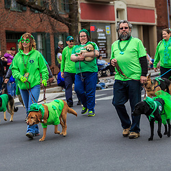 York, PA / USA - March 12, 2016: Dogs wearing green walk the route of the annual Saint Patrick's Day Parade in the City of York, Pennsylvania.