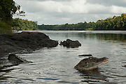 Black Caiman (Melanosuchus niger) <br /> Rain Forest<br /> Iwokrama Reserve<br /> GUYANA<br /> South America