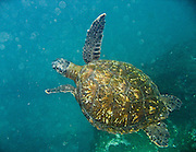 """A green sea turtle (Chelonia mydas) grazes underwater at Tagus Cove, on Isabela (Albemarle) Island, Galapagos Islands, Ecuador, South America. The """"green sea turtle"""" name comes from its greenish fat and flesh. The hues of its shell range from olive-brown to black in Eastern Pacific green turtles. The green turtle belongs to the family Cheloniidae and is the only species in the genus Chelonia. The species lives in tropical and subtropical seas around the world, with two distinct populations in the Atlantic and Pacific Oceans. It has a flattened body covered by a large, teardrop-shaped carapace and a pair of large, paddle-like flippers. Unlike other members of its family such as the hawksbill and loggerhead turtles, Chelonia mydas is mostly herbivorous (plant eating). The adults are commonly found in shallow lagoons, feeding mostly on various species of seagrass. In 1959, Ecuador declared 97% of the land area of the Galápagos Islands to be Galápagos National Park, which UNESCO registered as a World Heritage Site in 1978. Ecuador created the Galápagos Marine Reserve in 1998, which UNESCO appended in 2001. Published in """"Light Travel: Photography on the Go"""" by Tom Dempsey 2009, 2010."""