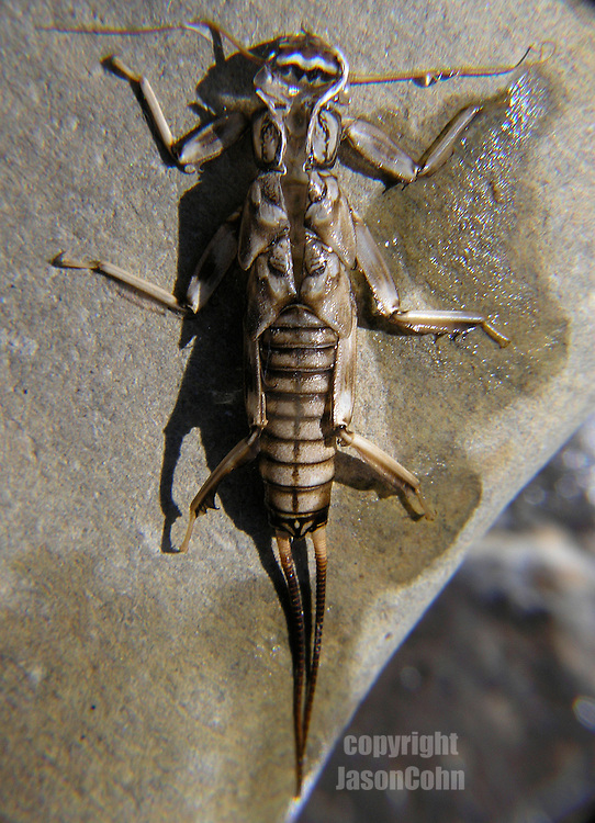 A Stonefly Larva on a rock in the North Fork of the FLathead River in Glacier National Park, Montana. Photo by Jason Cohn