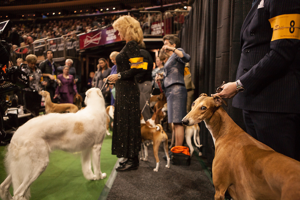 A greyhound and a Borzoi wait to enter the ring at Madison Square Garden at the 137th annual Westminster Kennel Club Dog Show. The evening competition was for the Best of Breed as adjudged in the daytime preliminaries.