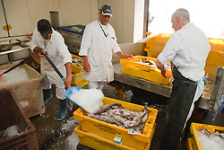 Unloading haddock and packing them with ice