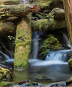 A waterfall on Panther Creek in the Gifford Pinchot National Forest flows underneath moss covered logs in a dense forest.