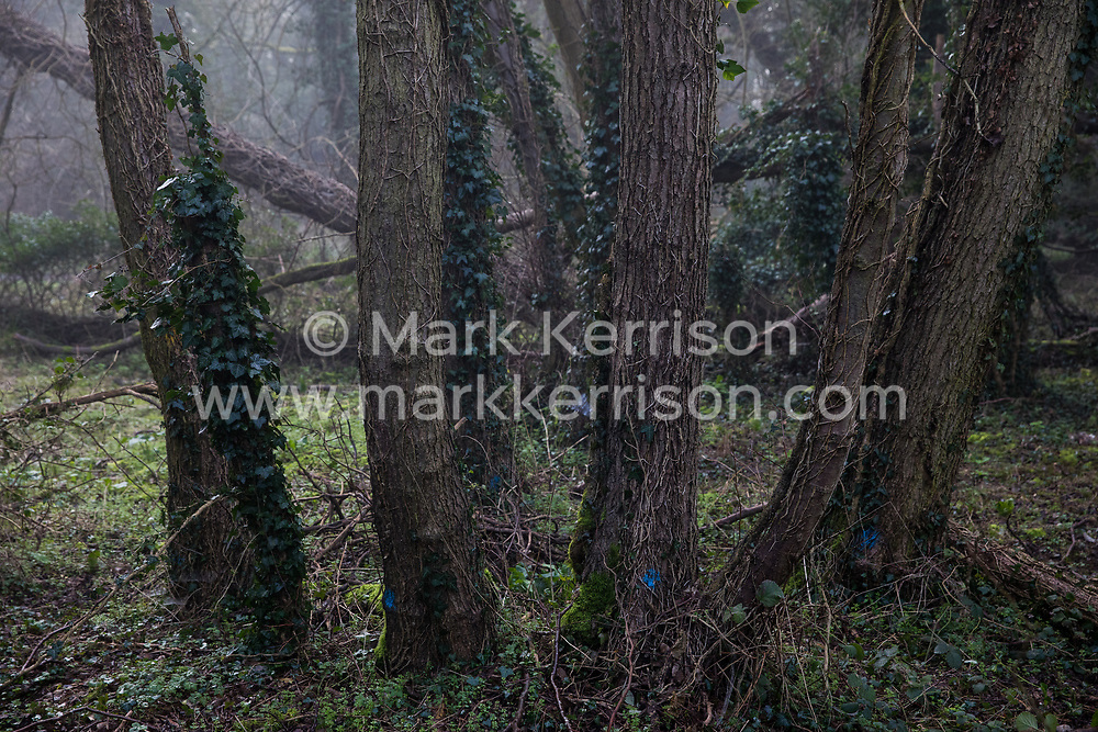 Denham, UK. 6 February, 2020. Trees marked for felling with blue paint in Denham Country Park. Works planned for the HS2 high-speed rail link in the immediate vicinity include not only considerable felling of trees, some of which very old, but also the construction of a Bailey bridge, compounds and fencing. Part of the site lies within a wetland nature reserve forming part of a Site of Metropolitan Importance for Nature Conservation (SMI).