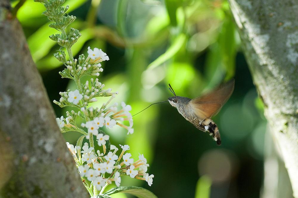 Frankrijk, 29 juli 2006Vlinder met zeer lange tong bezoekt vlinderstruik en haalt met lange slurf nectar uit de bloemenFoto: (c) Michiel Wijnbergh