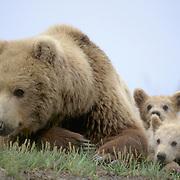 Alaska brown bear (Ursus middendorffi) mother lying with her young cubs. Alaska Peninsula