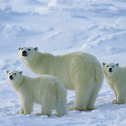 Polar Bear (Ursus maritimus) portrait of a mother and her cubs. Churchill, Manitoba, Canada