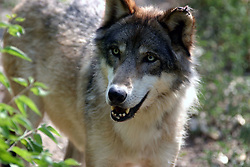 01 July 2006  A quick vacation through Iowa to Omaha.  ..Grey wolf (canis lupis) (Photo by Alan Look)