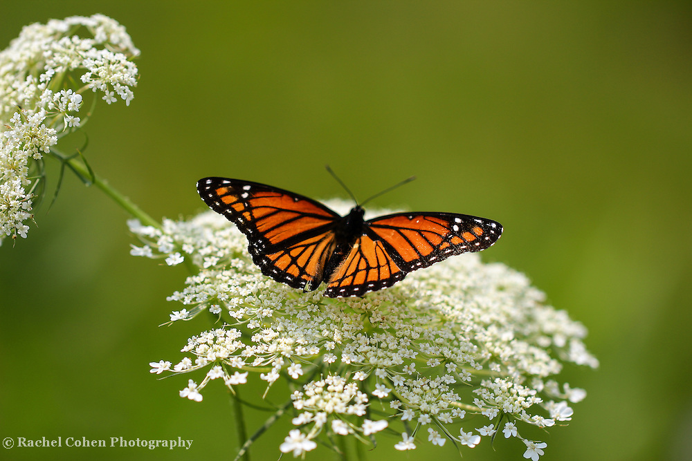 """""""Butterfly and Lace""""<br /> <br /> Viceroy Butterfly, the Monarch Mimic on Queen Ann's Lace!!<br /> <br /> Flowers and Wildflowers by Rachel Cohen"""