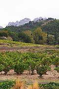 grenache gobelet training vineyard domaine de longue toque gigondas rhone france