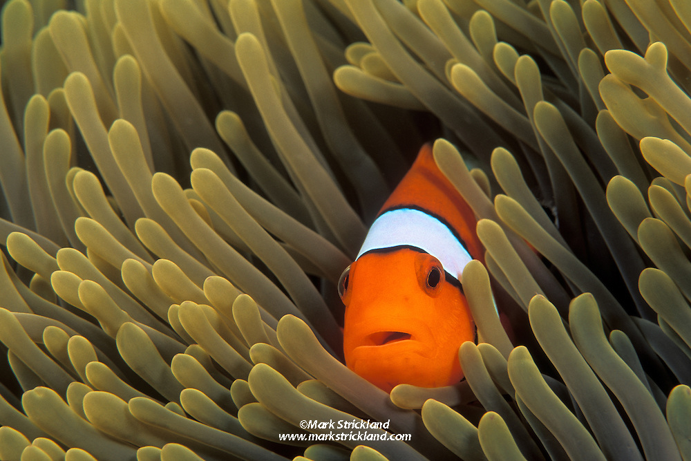 A Western Clown Anemonefish, Amphiprion ocellaris, peers from among the tentacles of its host sea anemone. Similan Islands Marine National Park, Thailand, Andaman Sea. filename: clown19