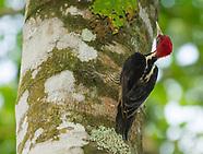 Pale-billed Woodpecker, Campephilus guatemalensis