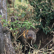 Banded Mongoose, (Mungos mungo) Kenya. Africa.