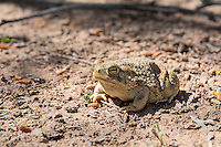 This medium-sized, common and true toad is found in southeastern Arizona, western Oklahoma, most of Texas and nearly all of the Mexican states of Chihuahua and Coahuila. It is most often found in desert and grassland habitats, where it feeds on ants, beetles and other arthropods it can overpower, and makes use of many different types of structures for its protection from predation, such as under logs, animal burrows or simply burying itself in mud. This one was found and photographed after a flash flood near the Rio Grande, near the Mexican border in West Texas' Big Bend National Park.