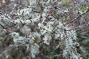 Lichen covered twigs and branches on plants on a cold morning on the Isle of Wight, England, United Kingdom.