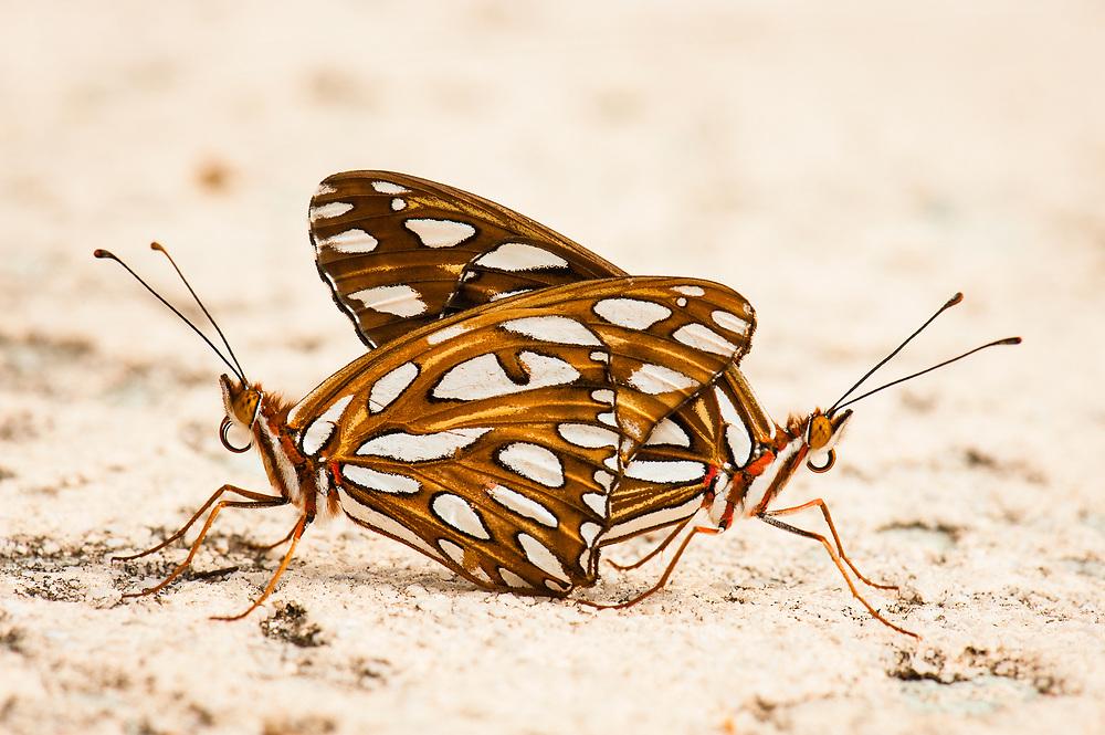Mating Gulf Fritillary Butterflies, Gulf Coast Region, Houston, Texas