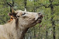 Morucha cattle in oak landscape<br /> Serra de Gata, Salamanca Region, Castilla y León, Spain