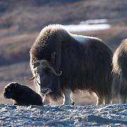 Muskox mother and her newborn calf. Alaska.