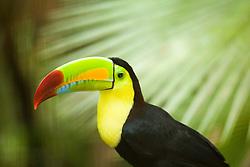 Keel-Billed Toucan, scientific name Ramphastos sulfuratus, captive at Belize Zoo