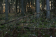 Small dead spruce in spruce forest, forests around River Amata, near Skujene, Latvia Ⓒ Davis Ulands | davisulands.com