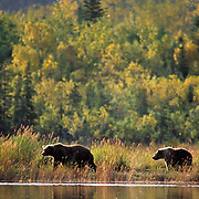 Alaskan Brown Bear, (Ursus middendorffi) Sow and cub walking along rive. Alaska Peninsula