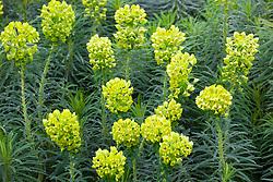 Euphorbia characias subsp. wulfenii<br /> Mediterranean spurge
