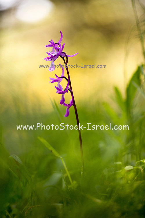 Anatolian orchid flowers (Orchis anatolica). This orchid is found in the eastern Mediterranean. Photographed in Israel in spring.