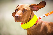 SHOT 5/9/20 1:11:23 PM - Various pointing breeds compete in the Vizsla Club of Colorado Licensed Hunt Test Premium at the Rocky Mountain Sporting Dog Club Grounds in Keenesburg, Co. (Photo by Marc Piscotty / © 2020)