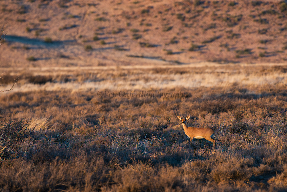 Steenbok (Raphicerus campestris)<br /> Private game ranch<br /> Great Karoo<br /> SOUTH AFRICA