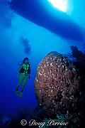 diver and giant barrel sponge,<br /> Xestospongia muta, Hogsty Reef, Bahamas,<br /> ( Western Atlantic Ocean )  MR 161