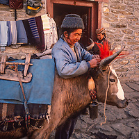 A Sherpa yak driver loads his animal in Namche Bazar, leading town of the Khumbu region of Nepal.