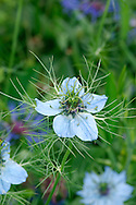 LOVE-IN-A-MIST Nigella damascena (Ranunculaceae) Height to 40cm. Upright, hairless annual, associated with disturbed ground and roadside verges. FLOWERS comprise 5 petal-like blue sepals; solitary and terminal (Jun-Jul). FRUITS are inflated capsules. LEAVES are divided into narrow segments and arranged as a ruff below the flowers. STATUS-Widely cultivated and sometimes naturalised briefly.