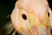 White Pelican Pelecanus onocrotalus close up