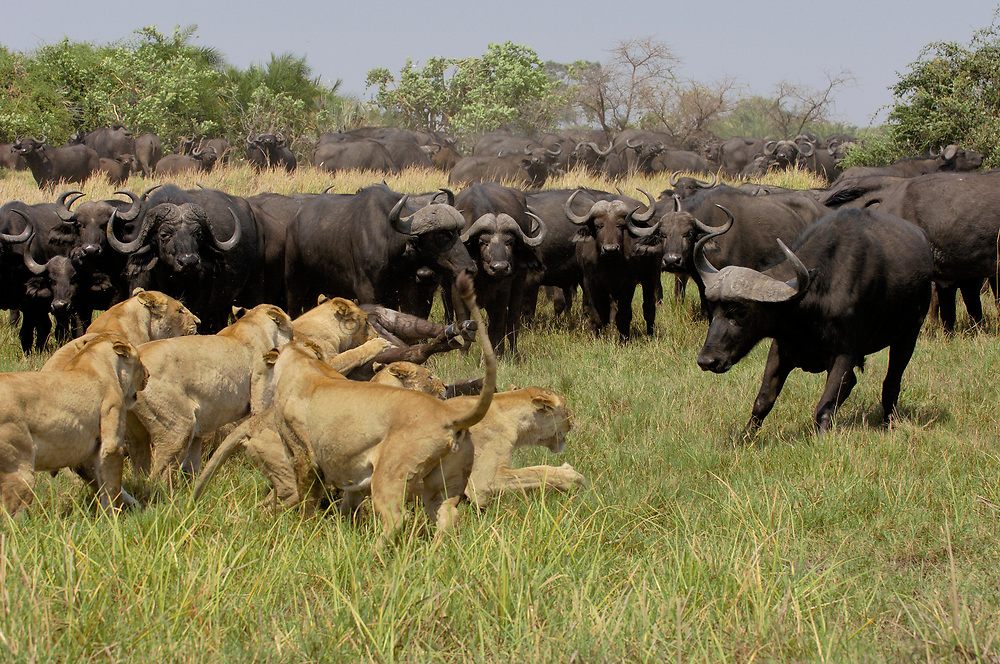 African Lion (Panthera leo) group killing Cape Buffalo (Syncerus caffer) while fending off rest of herd, Africa
