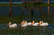 American White Pelicans (Pelecanus erythrorhynchos ) patrol the quiet waters.  Yellowstone NP, USA