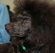 Coffee - brown miniature poodle