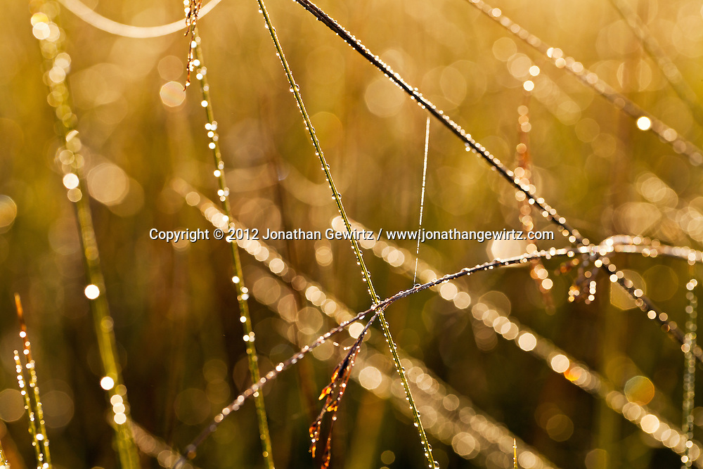 Semi-abstract view of grass stalks and morning dew in an Everglades sawgrass prairie. WATERMARKS WILL NOT APPEAR ON PRINTS OR LICENSED IMAGES.