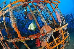 Platax pinnatus, Kuenstliches Riff mit Spitzmaul Fledermausfisch, Artificial reef with Shaded batfish, Bali, Indonesien, Indopazifik, Indonesia, Asien, Indo-Pacific Ocean, Asia