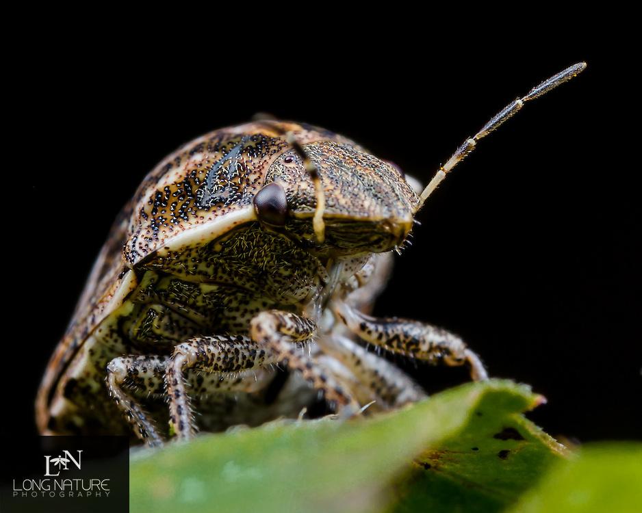 Scutelleridae - Shield backed bug
