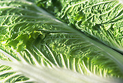 Close up selective focus photo of Chinese Cabbage leaves