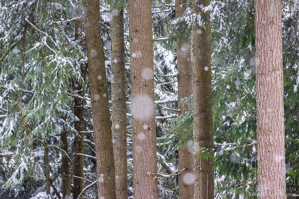 Light snow falls among Douglas fir (Pseudotsuga menziesii) trees in a forested area of Snohomish County, Washington.