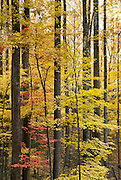 Little River Road passes through tunnels of yellow poplar leaves in autumn on the Tennessee side of Great Smoky Mountains National Park, in southeastern USA.