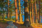 Mature white pine (Pinus strobi) and red pine (Pinus resinosa) at sunset<br /> <br /> Ontario<br /> Canada