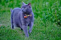 France, Orne (61), le Perche, chat domestique