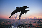 bottlenose dolphins, Tursiops truncatus, leaping out of water at sunset, Roatan, Bay Islands, Honduras ( Caribbean Sea )