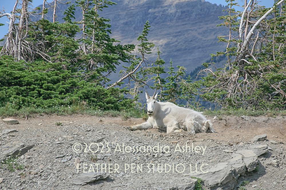 Mountain goat on mountainside, Glacier National Park, Montana.