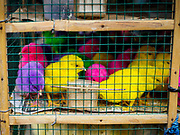 04 AUGUST 2017 - PAYANGAN, BALI, INDONESIA: Colorful dyed chicks for sale in the local market in Payangan, about 45 minutes from Ubud. Bali's local markets are open on an every three day rotating schedule because venders travel from town to town. Before modern refrigeration and convenience stores became common place on Bali, markets were thriving community gatherings. Fewer people shop at markets now as more and more consumers go to convenience stores and more families have refrigerators.      PHOTO BY JACK KURTZ