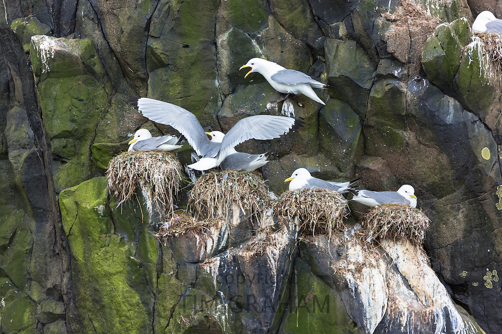 Kittiwake coastal gulls, Rissa tridactyla, in bird nesting colony on rocks and bird guano on Isle of Canna part of the Inner Hebrides and Western Isles in West Coast of Scotland