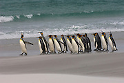King Penguins (Aptenodytes p. patagonica) on beach.<br /> Volunteer Point, Johnson's Harbour, East Falkland Island. FALKLAND ISLANDS.<br /> RANGE: Circumpolar, breeding on Subantarctic Islands. Extensive colonies found in South Georgia, Marion, Crozet, Kerguelen and Macquarie Islands. The Falklands represent its most northerly range. They are highly gregarious which probably accounts for it common association with colonies of Gentoo Penguins.<br /> King Penguins are the largest and most colourful penguins found in the Falklands. They have a unique breeding cycle. The incubation of one egg lasts for 54-55 days and chick rearing 11-12 months. As the complete cycle takes more than one year a pair will generally only breed twice in three years.